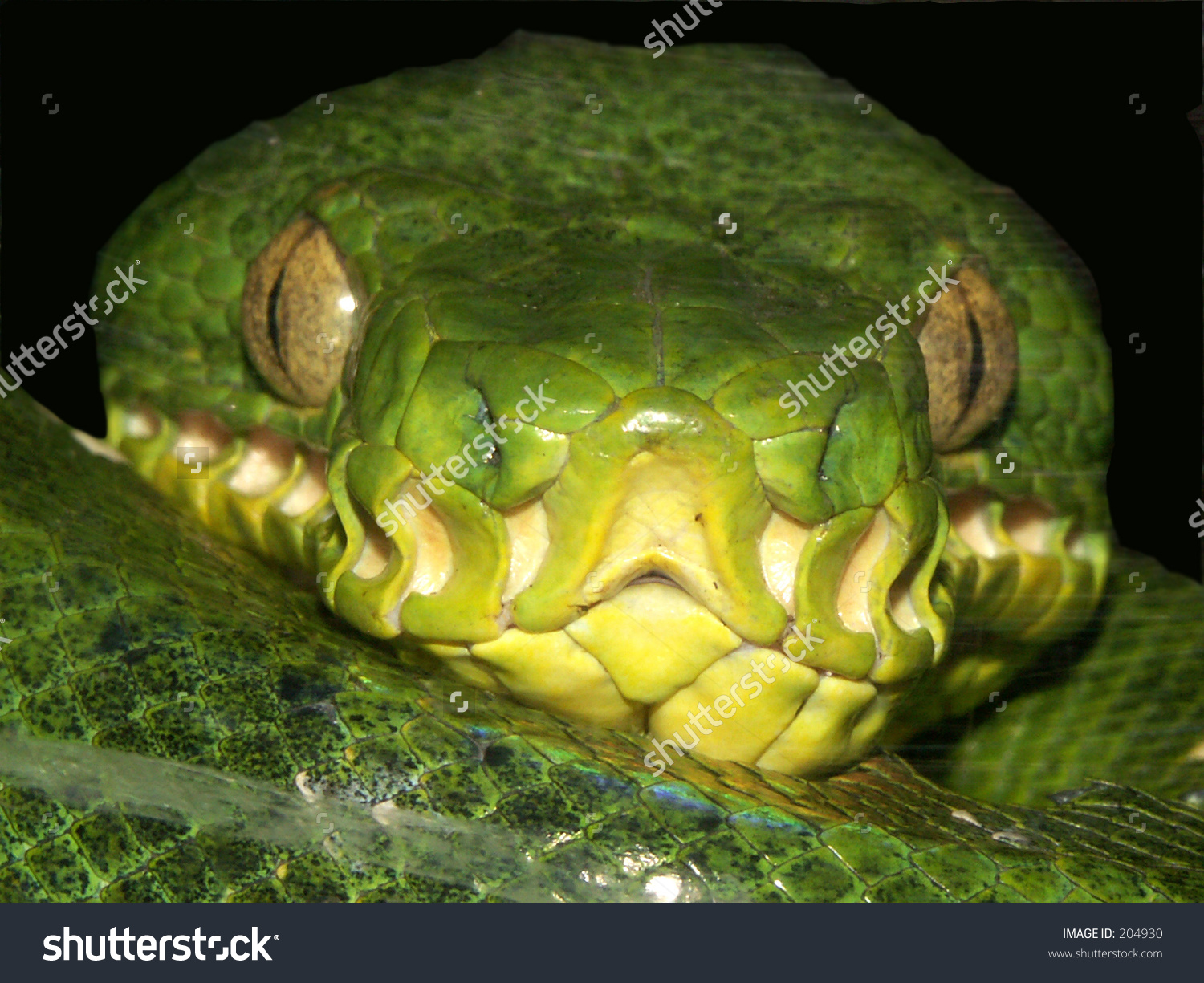 Emerald Tree Boa clipart #10, Download drawings