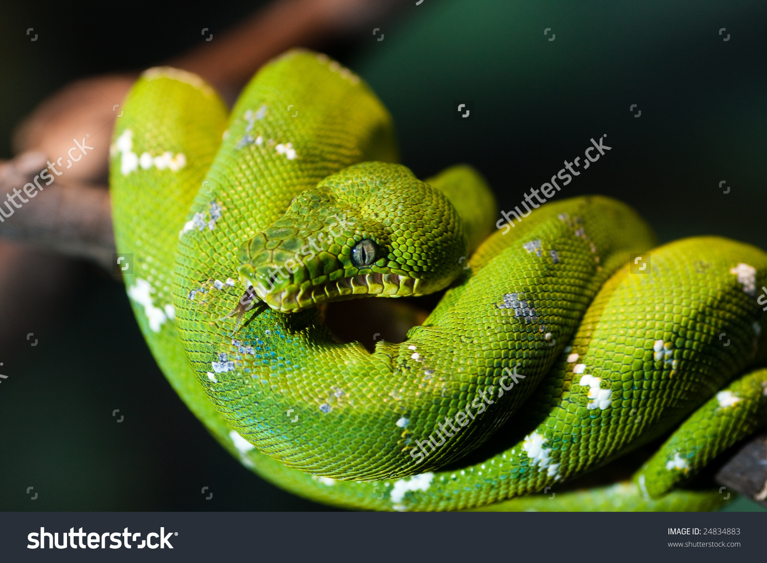 Emerald Tree Boa clipart #7, Download drawings