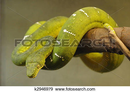 Emerald Tree Boa clipart #6, Download drawings
