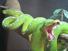 Emerald Tree Boa coloring #14, Download drawings