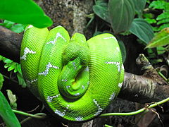 Emerald Tree Boa coloring #12, Download drawings