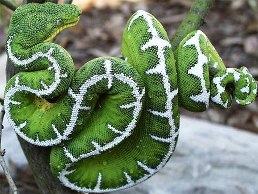 Emerald Tree Boa coloring #10, Download drawings