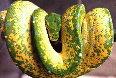 Emerald Tree Boa coloring #4, Download drawings