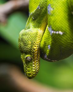 Emerald Tree Boa coloring #8, Download drawings