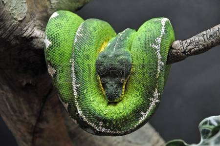 Emerald Tree Boa coloring #6, Download drawings