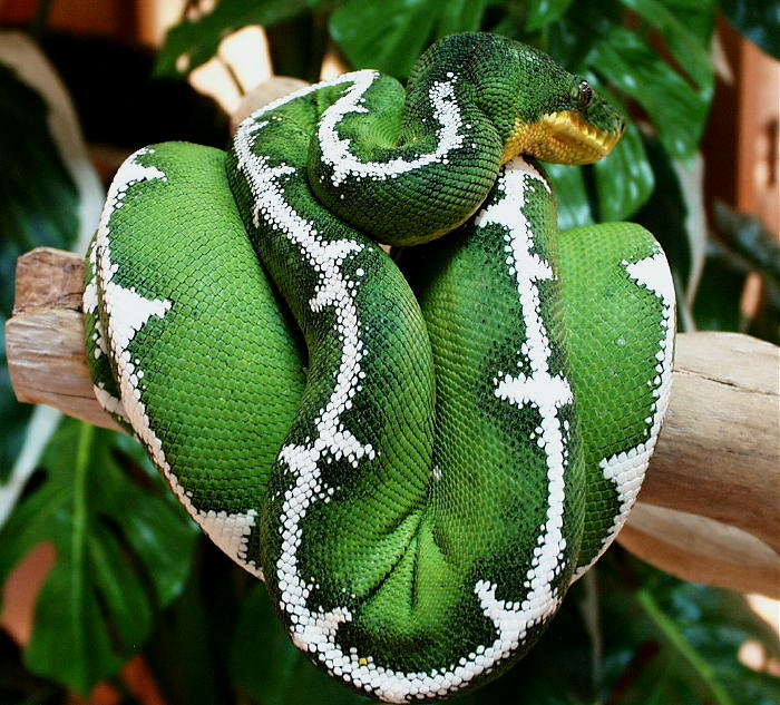 Emerald Tree Boa coloring #16, Download drawings