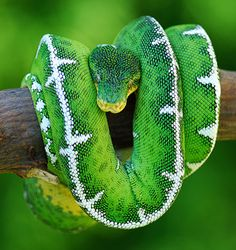 Emerald Tree Boa coloring #15, Download drawings