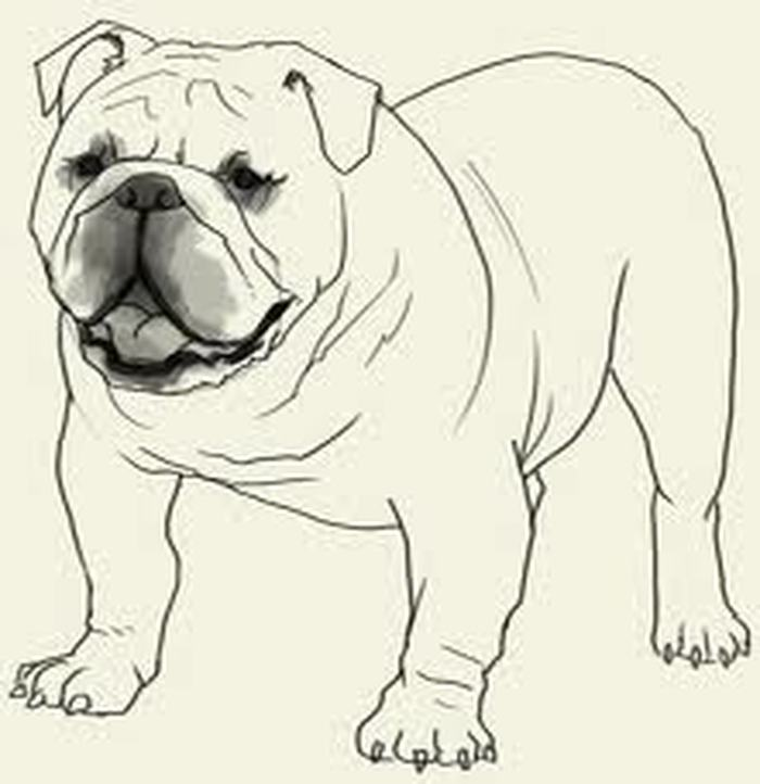 English Bulldog coloring #18, Download drawings