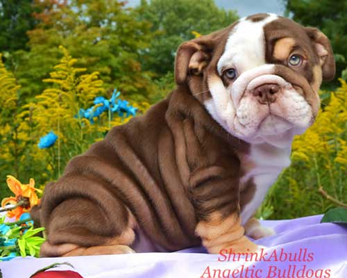 English Bulldog coloring #1, Download drawings