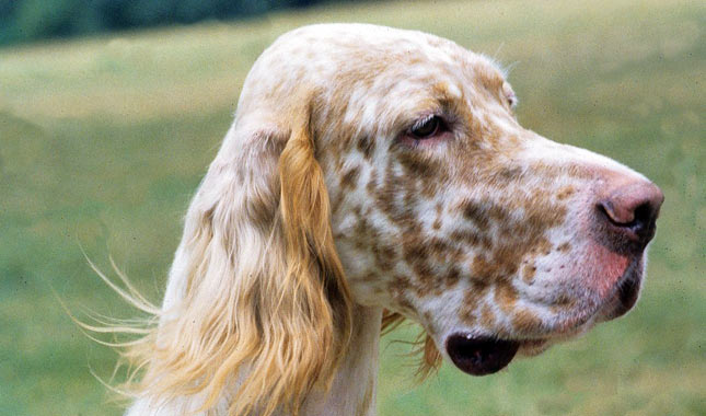 English Setter coloring #3, Download drawings