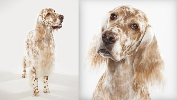 English Setter coloring #18, Download drawings
