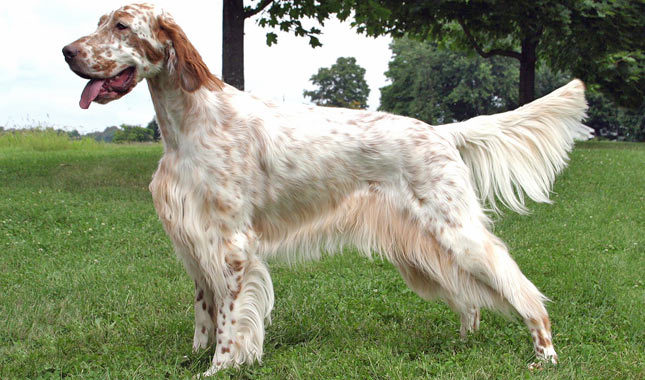 English Setter coloring #15, Download drawings