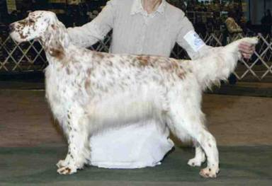 English Setter coloring #17, Download drawings