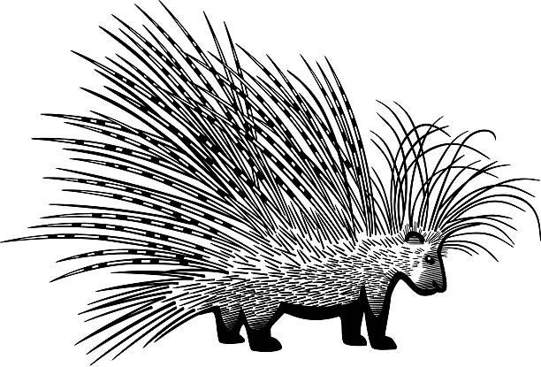 Erethizontidae clipart #15, Download drawings