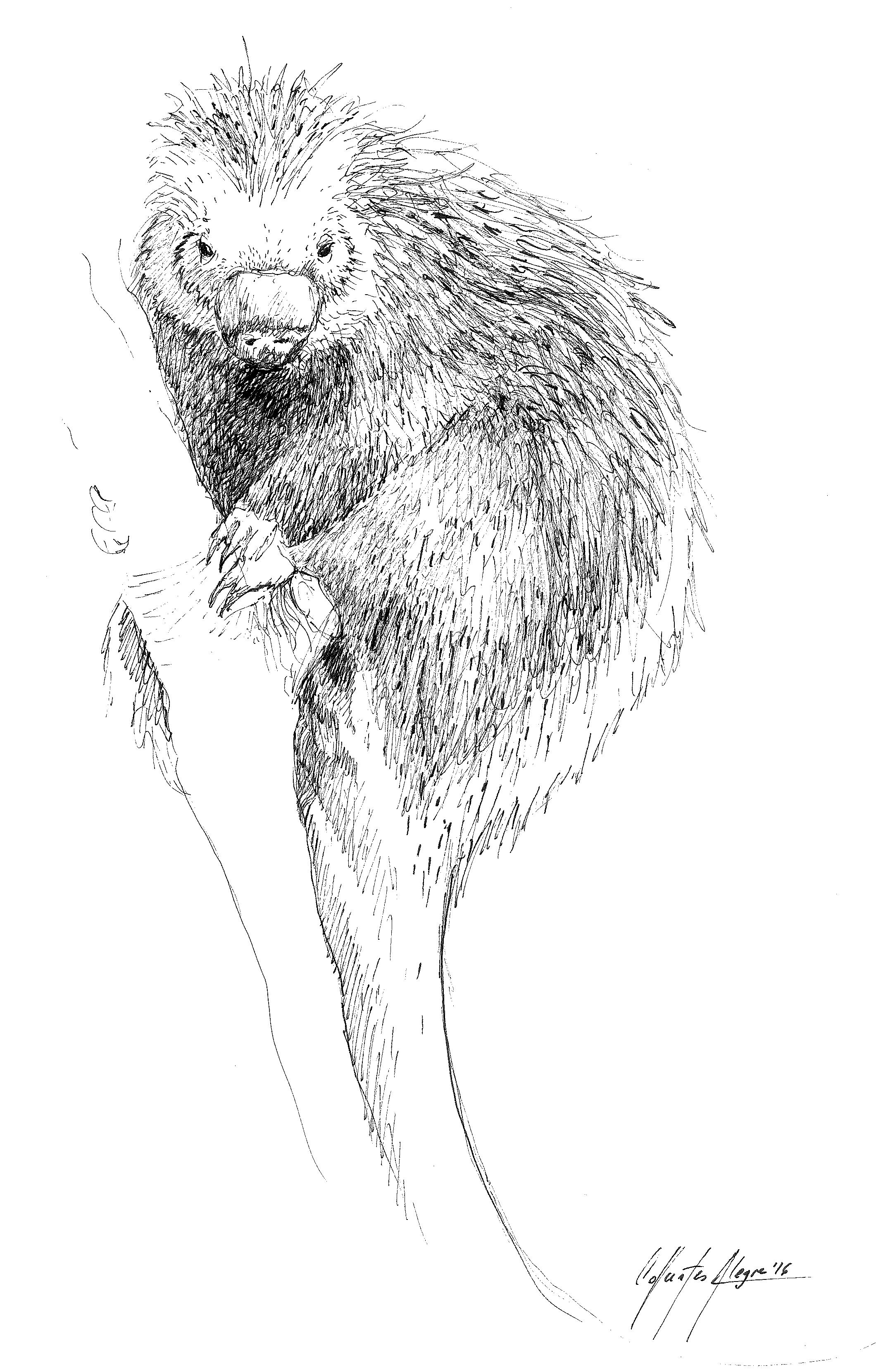Erethizontidae coloring #5, Download drawings