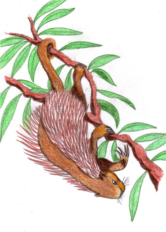 Erethizontidae coloring #1, Download drawings