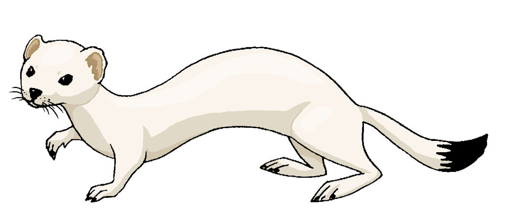 Ermine clipart #1, Download drawings