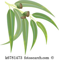 Eucalyptus clipart #20, Download drawings