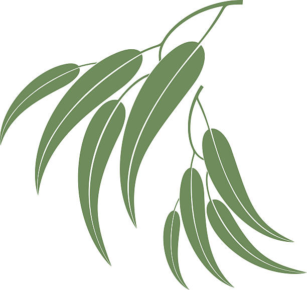 Eucalyptus clipart #13, Download drawings