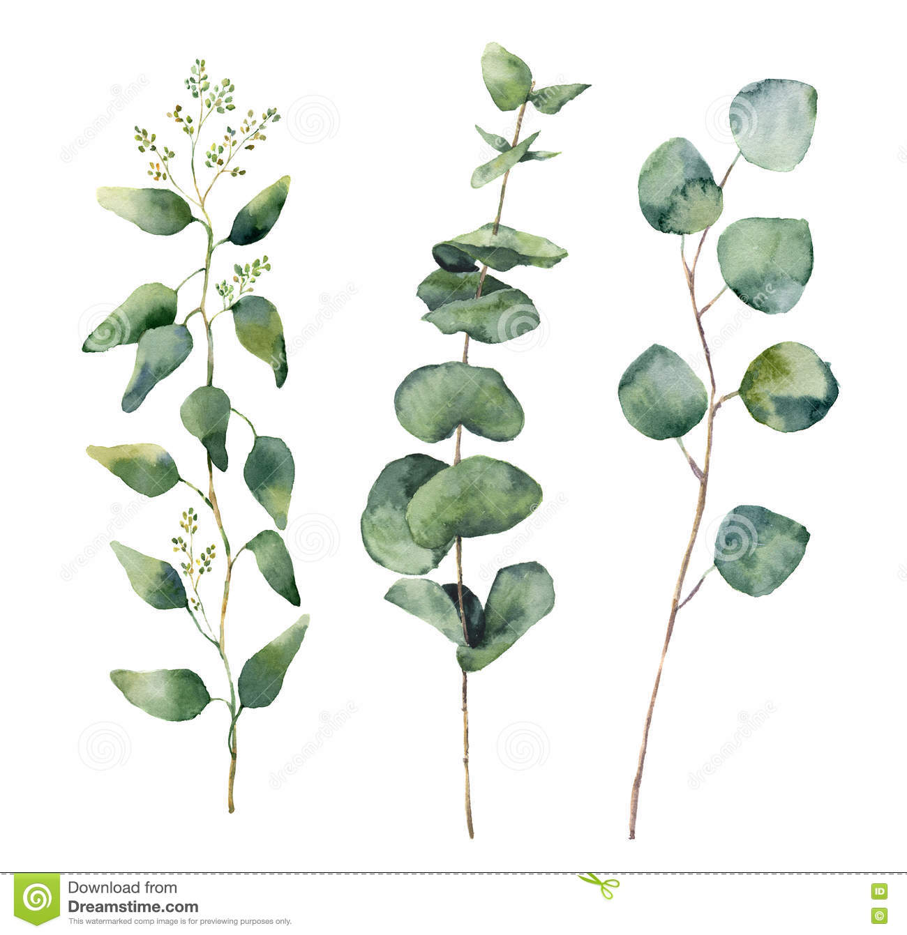 Eucalyptus clipart #4, Download drawings