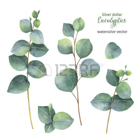 Eucalyptus clipart #16, Download drawings