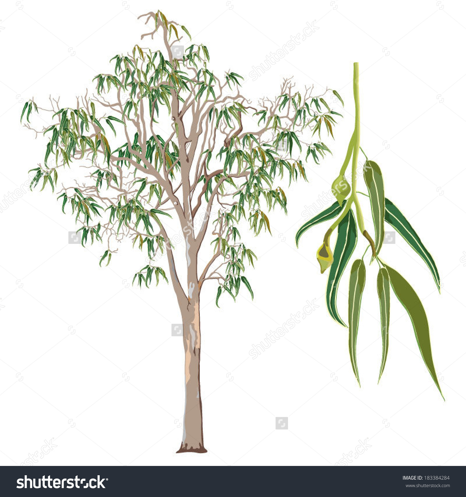 Eucalyptus Gum Tree clipart #15, Download drawings