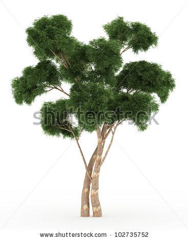 Eucalyptus Gum Tree clipart #13, Download drawings