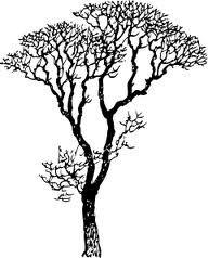 Eucalyptus Gum Tree clipart #12, Download drawings