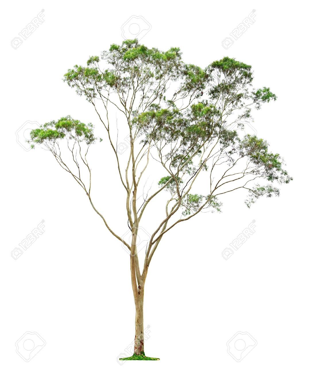 Eucalyptus Gum Tree clipart #3, Download drawings