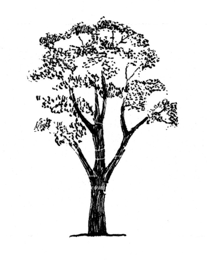 Eucalyptus Gum Tree clipart #4, Download drawings