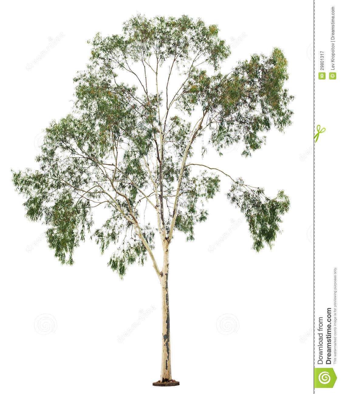 Eucalyptus Gum Tree clipart #14, Download drawings