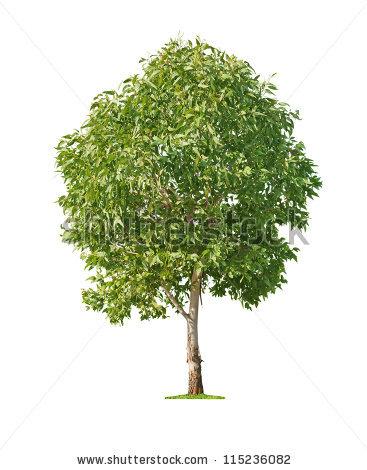 Eucalyptus Gum Tree clipart #2, Download drawings