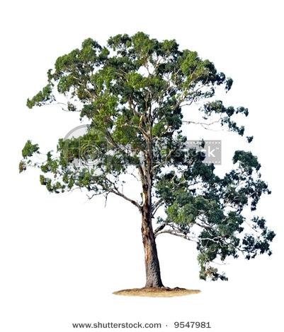Eucalyptus Gum Tree clipart #16, Download drawings