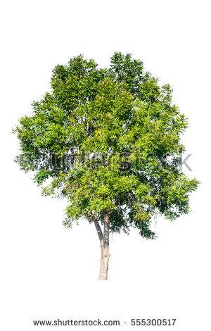 Eucalyptus Gum Tree clipart #17, Download drawings