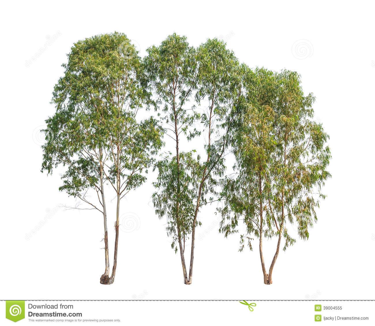 Eucalyptus Gum Tree clipart #5, Download drawings