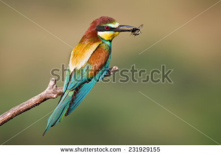 Eurasian Bee-eater clipart #11, Download drawings