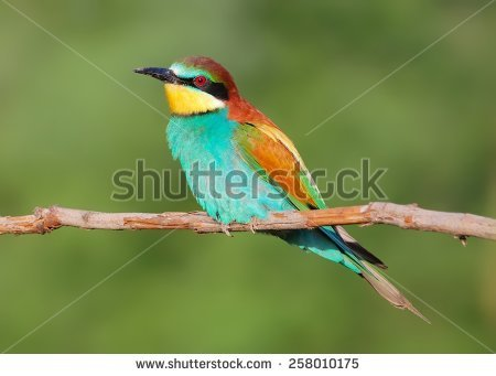 Eurasian Bee-eater clipart #10, Download drawings