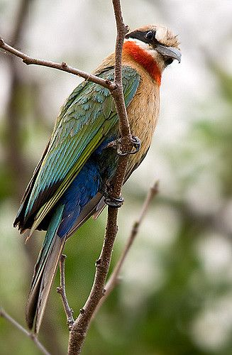 Eurasian Bee-eater clipart #3, Download drawings