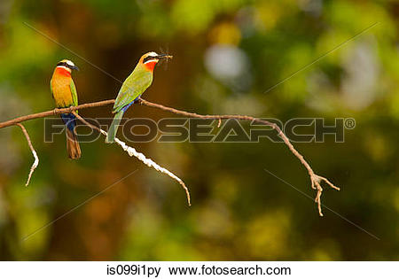 Eurasian Bee-eater clipart #9, Download drawings