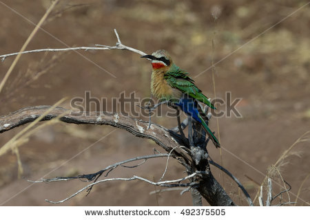 Eurasian Bee-eater clipart #4, Download drawings