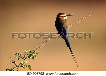 Eurasian Bee-eater clipart #19, Download drawings