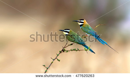 Eurasian Bee-eater clipart #17, Download drawings
