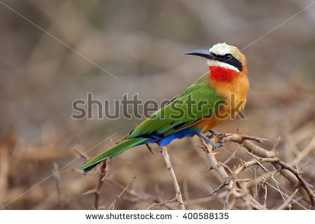 Eurasian Bee-eater clipart #13, Download drawings