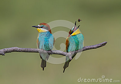 Eurasian Bee-eater clipart #18, Download drawings