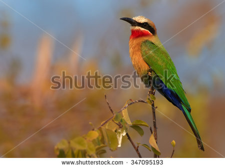 Eurasian Bee-eater clipart #14, Download drawings