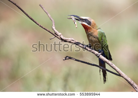 Eurasian Bee-eater clipart #16, Download drawings