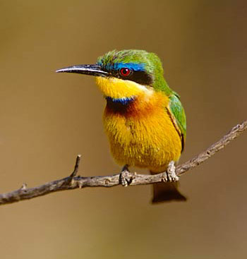 Yellow-throated Bee-eater coloring #3, Download drawings