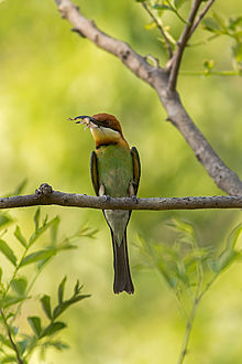 Rainbow Bee-eater svg #10, Download drawings