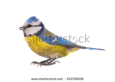 Eurasian Blue Tit clipart #7, Download drawings