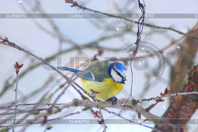 Eurasian Blue Tit clipart #2, Download drawings